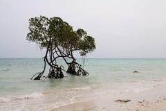 两棵稍兵美洲红树树海岸线安达曼海 免版税库存图片