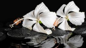两棵精美白色木槿,禅宗石头的美好的温泉概念 库存图片