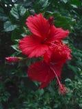 两棵红色木槿花开花在庭院里 库存图片