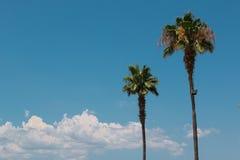 两棵美国钞票棕榈树:装饰植被 免版税库存照片