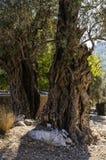 两棵老橄榄树由太阳的光芒点燃 免版税图库摄影