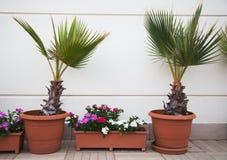 两棵装饰棕榈 免版税库存图片