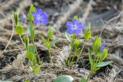 两棵长春蔓未成年人一点荔枝螺花、共同的荔枝螺在绽放,两朵装饰爬行花和芽 免版税库存图片
