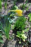 两棵黄色水仙在开头之前开花,涌现从spathe 免版税库存照片
