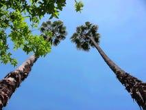 两棵Washingtonia树从下面 免版税图库摄影