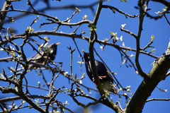 两椋鸟坐树枝 图库摄影