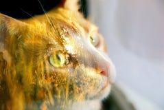 两次曝光 秋天红色猫 背景草查出的白色 免版税图库摄影