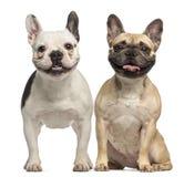 两法国牛头犬、3岁,开会和气喘 免版税库存图片