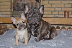 两法国牛头犬摆在 免版税库存图片