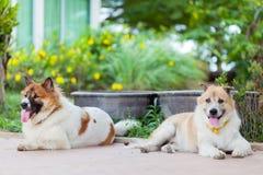 两泰国狗开会 库存照片