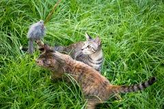 两演奏猫的小猫在草戏弄在庭院里 免版税库存照片