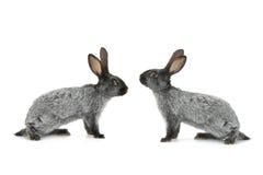 两灰色兔子 库存图片