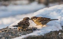 两灰色和棕色麻雀坐与白雪的灰色凝结面并且吃鸟饵在冬天 免版税图库摄影