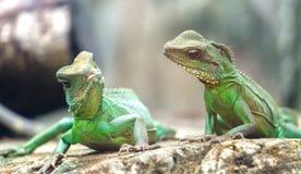 两爱恋看中的每一鬣鳞蜥 免版税库存图片