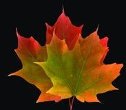 两片五颜六色的槭树叶子 免版税库存照片