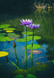 两片开花的紫色莲花和绿色叶子在池塘 免版税库存图片
