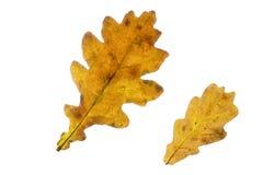两片橡树叶子在秋天 图库摄影