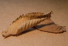 两片秋天干燥下落的叶子 免版税库存图片