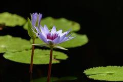 两片美丽的五颜六色的莲花和绿色叶子在水池 库存图片