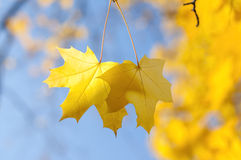 两片黄色槭树叶子在反对蓝天的秋天 库存照片