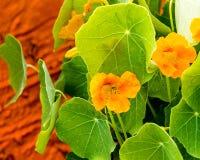 两片黄色金莲花绽放和金莲花叶子在日落 免版税图库摄影
