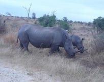 两犀牛 免版税图库摄影