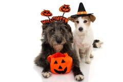 两狗万圣节 杰克罗素穿戴了作为佩带有糖果袋子的巫术师或巫婆和护羊狗一个标志头饰带 ??  免版税图库摄影