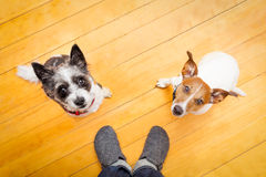 两狗和ower在家 免版税库存图片