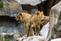 两狮子在Chiangmai动物园,泰国里 免版税库存照片