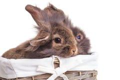 两狮子顶头兔子bunnys侧视图  库存图片