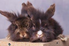 两狮子顶头兔子bunnys坐木箱子 库存照片