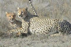两猎豹(猎豹属jubatus)在大草原,清洗 免版税库存图片