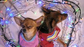 两玩具狗是一条黄色新年` s狗 免版税图库摄影