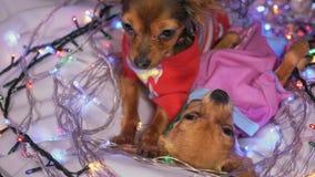 两玩具狗是一条黄色新年` s狗 库存图片