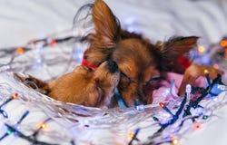 两玩具狗是一条黄色新年` s狗 库存照片