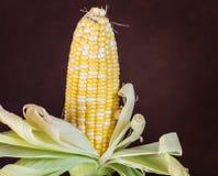 两甜玉米口气在黑褐色背景的 库存照片