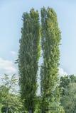 两白扬树 免版税图库摄影