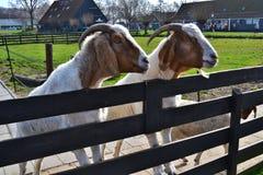 两白色和与一个好奇胡子同辈的棕色山羊从后面木篱芭 图库摄影