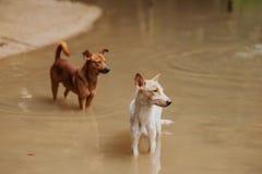 两白色和棕色狗s 免版税库存图片