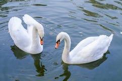 两白色天鹅游泳在一起池塘 特写镜头 免版税库存照片