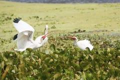 两白色朱鹭在沼泽对峙在佛罗里达 免版税库存图片