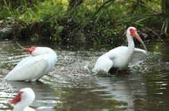 两白色沐浴和飞溅在池塘,堡垒Desoto, Flori的朱鹭 免版税库存图片