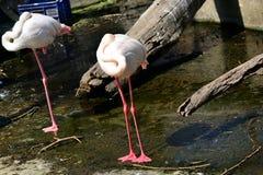 两白色火鸟鸟 免版税库存图片