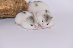 两白色西伯利亚仓鼠 库存图片