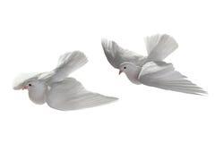 两白色鸽子 免版税库存照片