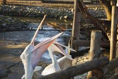 两白色鹈鹕抓从动物园的顾客的一条鱼 库存照片
