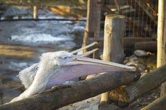 两白色鹈鹕抓从动物园的顾客的一条鱼 库存图片