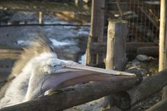 两白色鹈鹕抓从动物园的顾客的一条鱼 免版税库存图片