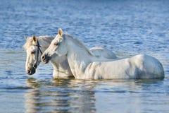两白马游泳在水中 库存图片
