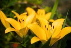 两百合属植物 免版税库存照片